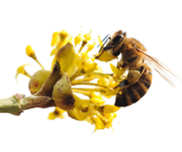 Bijen en vlinderbloemen