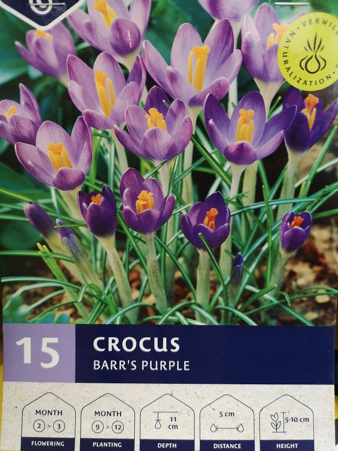 Crocus 'Barr's Purple'