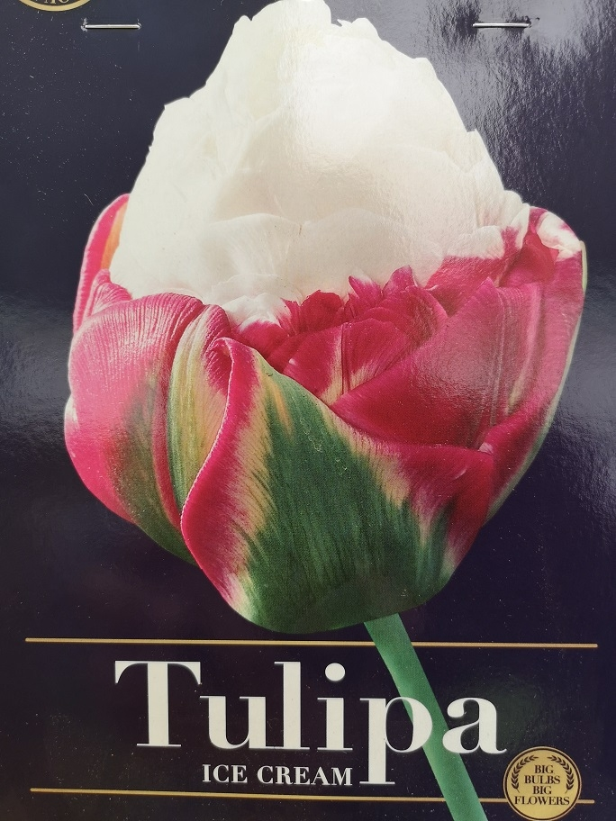 Tulp 'Ice Cream'